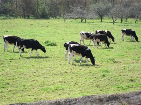 Asturies ye declarada territoriu llibre de brucelosis bovina