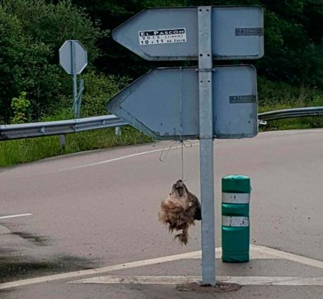 Apaez la cabeza decapitada d'un llobu colgada d'una señal cercana a La Doriga